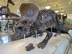 A fossilized Triceratops skeleton on display at the American Museum of Natural History in New York City. (Photo by Gregory Erickson.)