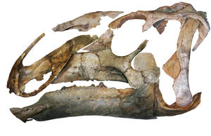 A lateral view of the assembled skull of Eotrachodon orientalis. (Image credit: Albert Prieto-Marquez et al.)